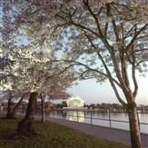Cherry Blossom Cruise & Memorials